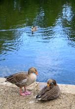 Greylag Geese On A Lake In Kel...