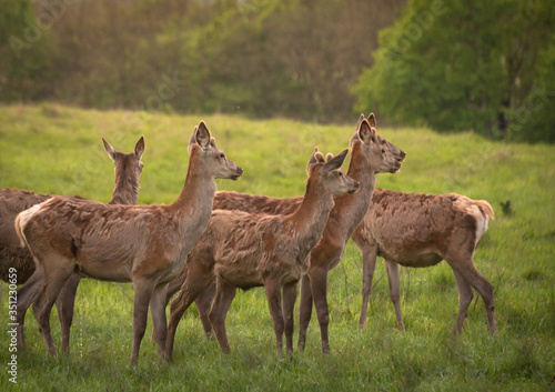 Red deer in spring pasture Canvas Print