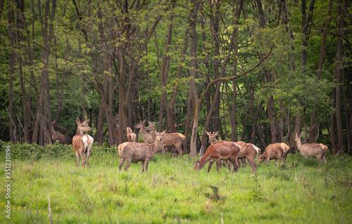Photo Red deer in spring pasture