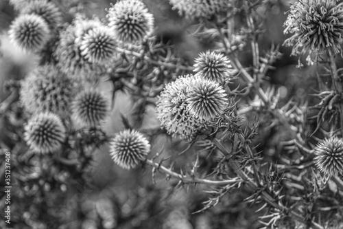Czarno-białe zdjęcia. Sucha roślina w okrągłe kształty z igłami.