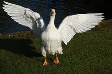 White Goose Flapping Wings On Grassy Field Against Lake