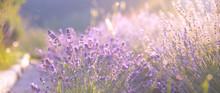 Lavender Field Closeup View. Purple Lavender Garden. Spa Essential Oil Of Beautiful Herbs.