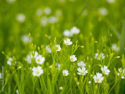 Spring flowers. Flowers of stella holostea Wallpaper Mural