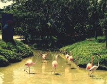 Flamingo Birds In Pond At Park