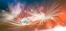 Shiny Dew Water Drop On Dandelion In Bokeh Background. Close-up Macro Dandelion Seed .