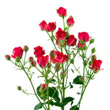 Flowers Of Climbing Rose Isolated On White