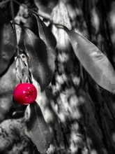 Close-up Of Ripen Red Apple On Tree