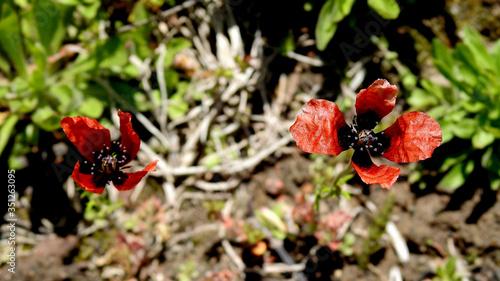 Fototapeta kwiat mak piaskowy rosnący na nieużytkach miasta Białystok na Podlasiu w Polsce obraz