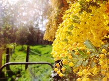 Close-up Of Yellow Wattle Flowers