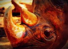 Close-up Of Rhinoceros On Field