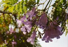 Jakaranda Purple Flowers