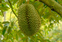 Fresh Durians Fruit On The  Tr...
