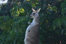 Kangaroo Scratching Belly Lazy