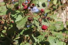 Unripened Blackberries In Autumn In Woodland In UK
