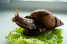 Achatina Big Snail Sits On Let...