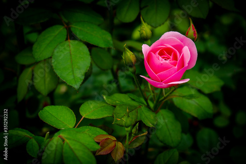 pink rose bud on green background
