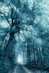 Fototapeta Drzewa Dreamy, misty forest scenery with toned monochrome cool color, a path under a large tree leading into the light