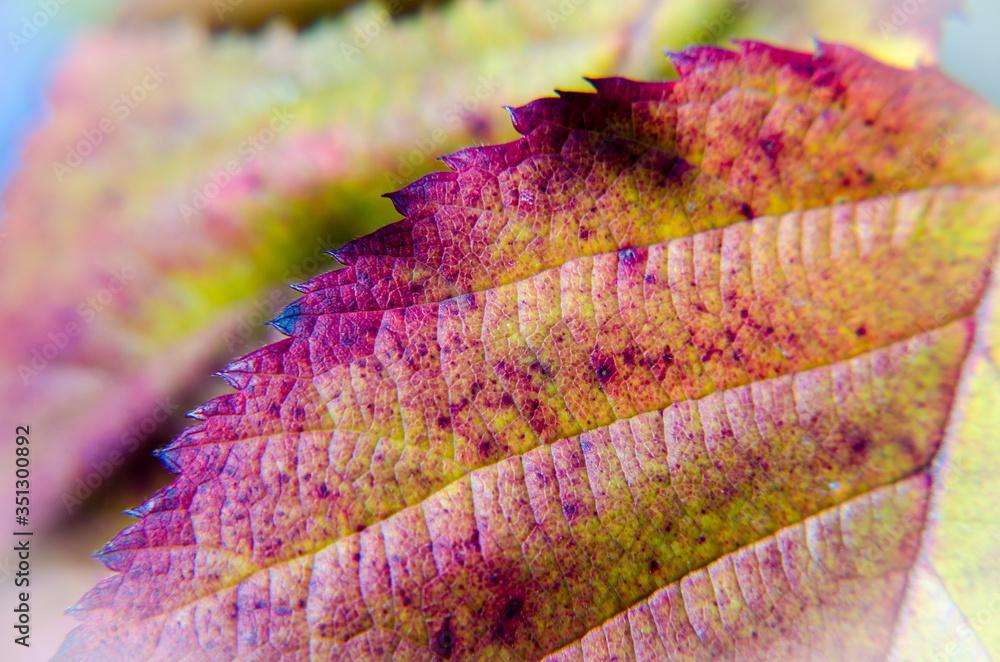 Jesienny liść jerzyny