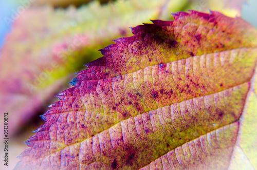 Jesienny liść jerzyny - fototapety na wymiar