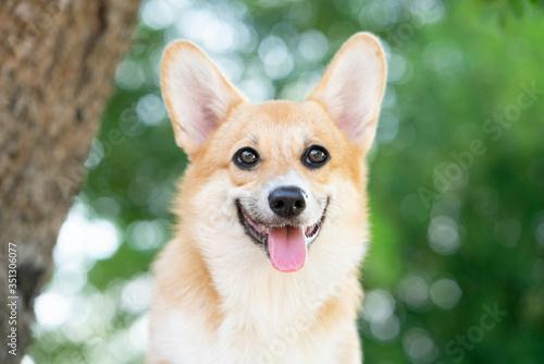 Obraz Corgi dog smile and happy in summer sunny day - fototapety do salonu