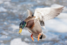 Male Mallard Duck (Anas Platyrhynchos) Drake Coming In For A Landing On The Ice Along The Ottawa River In Canada
