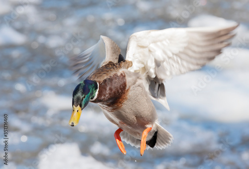 Valokuvatapetti Male mallard duck (Anas platyrhynchos) drake coming in for a landing on the ice