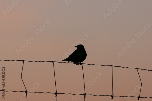 Silhouette picture of a common blackbird in the soft glow of twilight Wallpaper Mural