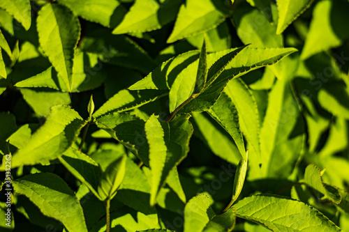 Obraz Zbliżenie na zielone wiosenne liście, świeżowrośnięte na wiosnę  - fototapety do salonu
