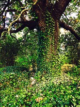Trees Covered With Ivy In Forest