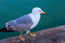 The Yellow-legged Gull (Larus Michahellis) Walking On The Pier Near Sea.
