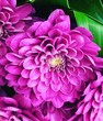 canvas print picture - Close-up Of Pink Dahlias