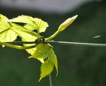 Grapevine Seedling On Metal Wire