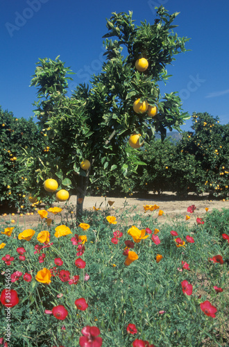 Oranges and spring flowers in Ventura Country, CA