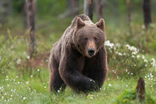 Finland, Kuhmo, Brown Bear At ...