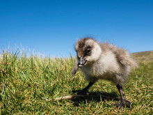 Upland Goose Gosling (Chloephaga Picta) On New Island, Falkland Islands, South America