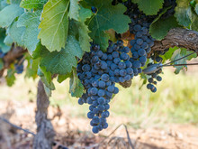 Südafrika, Westkap, Cape Winelands, Weintrauben Von Stellenbosch
