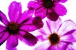 canvas print picture - Digitally Altered Image Of Pink Flowers Against White Background