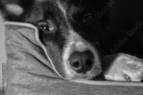 perro descansando Canvas Print
