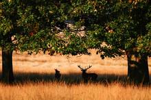 Jelen Odpoczywa W Cieniu Drzew