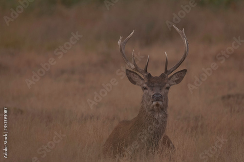 Fototapeta młody jeleń szlachetny obraz