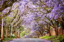 Beautiful Blooming Jacaranda T...