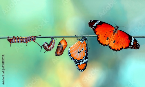 Foto Amazing moment ,Monarch Butterfly, pupae and cocoons are suspended