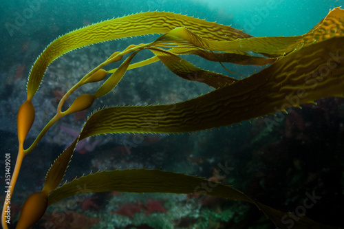Giant kelp, Macrocystis pyrifera, grows in the cold eastern Pacific waters that flow along the California coast Billede på lærred