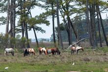 Assateague Island Wild Ponies Grazing In A Marsh