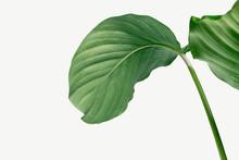Calathea Orbifolia Leaves Isol...