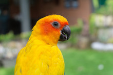 Sun Conure Bird With Golden Yellow Feathers And Orange Face