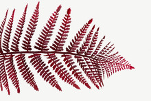 Red Colored Leatherleaf Fern M...