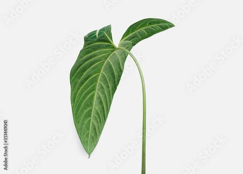 Fototapeta Tropical Alocasia leaf on an off white background obraz na płótnie