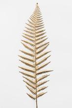 Golden Leatherleaf Fern Plant On An Off White Background