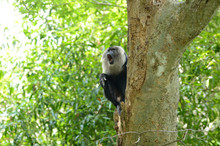 The Lion-tailed Macaque (Macac...